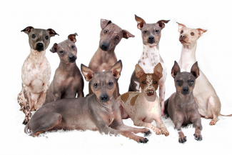 American Hairless terrier nationaal erkend